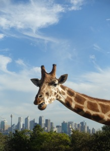 Giraffe at Sydney's Taronga zoo with the city skyscrapers in the distance
