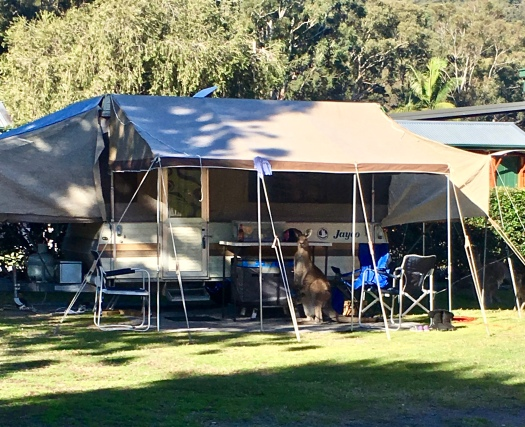 Camping with a mob of kangaroos